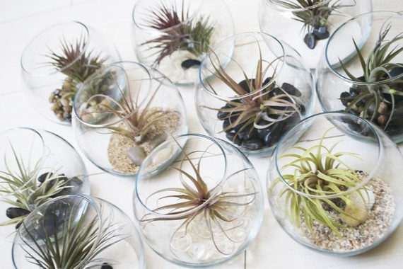 fish bowl air plant